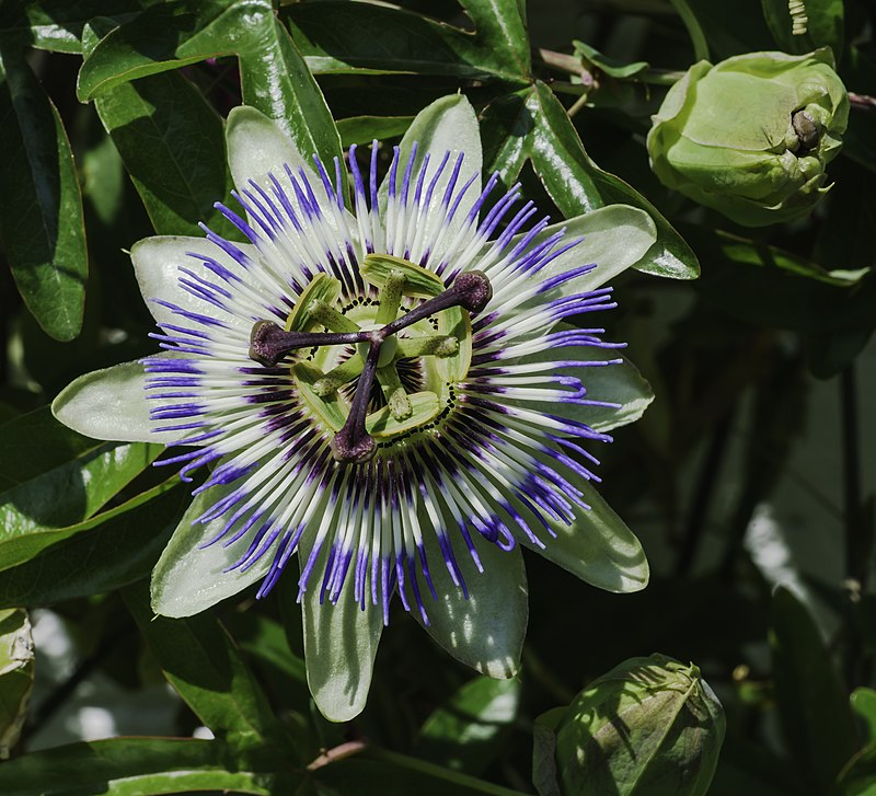 Passiflora caerulea (2019-06-24) frontal-view.jpg