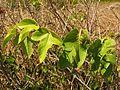 Passion Flower Vine - Flickr - treegrow.jpg
