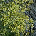 Pastinaca sativa subsp. sativa flowers, Pastinaak bloemen (7).jpg