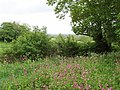 Path with patch of red campion - geograph.org.uk - 431255.jpg