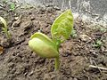 Peas plant grown from Seed (2).jpg