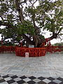 Peepal Tree at Mansa Devi Temple, Chandigarh, India.jpg