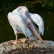 Pelecanus onocrotalus cleaning its feathers at sunset (3).jpg