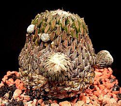 Pelecyphora asseliformis1 ies.jpg