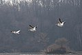 Pelicans at Eagle Creek Park (4 of 7).jpg