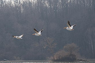 Eagle Creek Park - Image: Pelicans at Eagle Creek Park (4 of 7)
