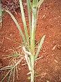 Pennisetum purpureum feulle.jpg