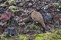 Perdiz nival (Lagopus mutus), Grábrók, Vesturland, Islandia, 2014-08-15, DD 093.JPG