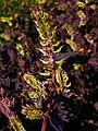 Perilla frutescens var. crispa 002.jpg