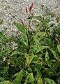 Persicaria maculosa kz03.jpg