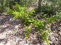 Persoonia isophylla 4.jpg