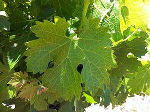 Durif - Durif leaf.