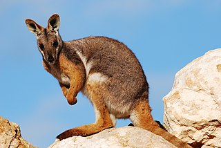 Yellow-footed rock-wallaby member of the macropod family