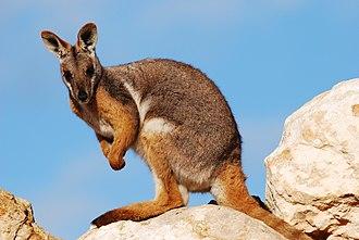 Yellow-footed rock-wallaby - Image: Petrogale xanthopus Monarto 1