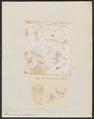 Phacochoerus aethiopicus - 1700-1880 - Print - Iconographia Zoologica - Special Collections University of Amsterdam - UBA01 IZ21900261.tif