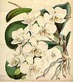 Phalaenopsis amabilis - Curtis' 73 (Ser. 3 no. 3) pl. 4297 (1847).jpg