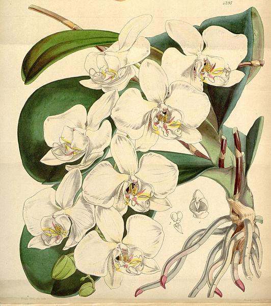 Berkas:Phalaenopsis amabilis - Curtis' 73 (Ser. 3 no. 3) pl. 4297 (1847).jpg