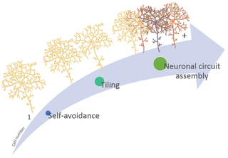 Neuronal self-avoidance