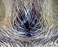 Phidippus clarus epigyne 01.jpg