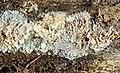 Phlebia fascicularis (Rick) Nakasone & Burds 852489.jpg