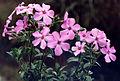 Phlox amoena 'Rosea' 1.jpg