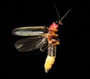 Glowworm - Wikipedia