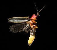 Photinus pyralis Firefly 3.jpg