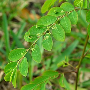 Mascarene Islands - Phyllanthus tenellus (Mascarenes leafflower)