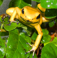 Phyllobates terribilis climbing on leaves.png