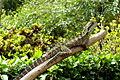 Physignathus leuseuni (Eastern Water Dragon), Roma Street Parkland..JPG