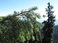 Picea breweriana - Flickr - theforestprimeval (5).jpg
