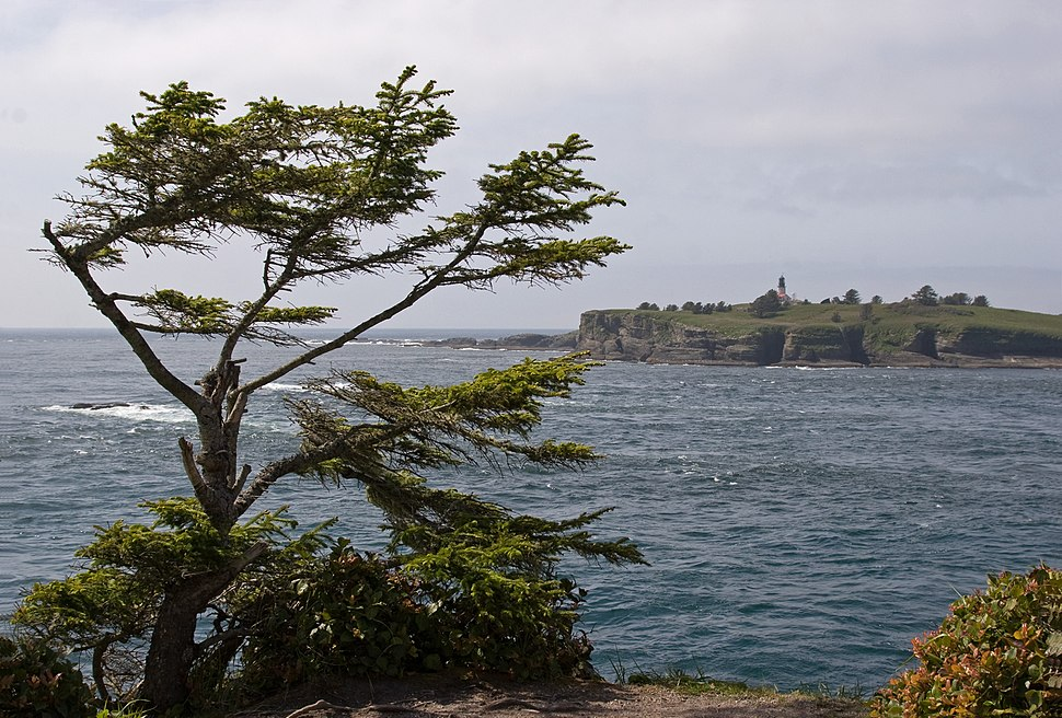 Picea sitchensis Cape Flattery