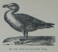 Picture Natural History - No 174 - The Black-backed Gull.png