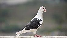 Domestic pigeon - Wikipedia