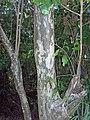Pigeon Plum bark (5603931999).jpg