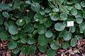 Pilea peperomioides - Botanischer Garten, Dresden, Germany - DSC08613.JPG