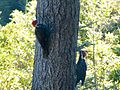 Pileated Woodpeckers on a fir tree near Brookings, Oregon (USA).jpg