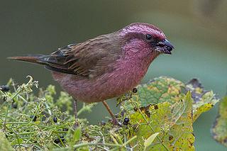 Pink-browed rosefinch species of bird