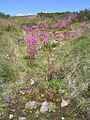 Pink flowers in Kosciuszko National Park.jpg