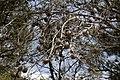 Pinus-halepensis-cones.JPG