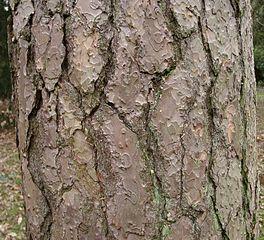 Borovica lesná - kôra