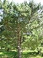 Pinus nigra spp. nigra.JPG