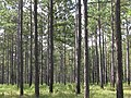 Pinus palustris forest.jpg