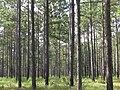 Pinus palustris forest.jpg
