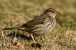 Pipit Striped Alan Manson 2011 06 18 ItalaGR.jpg