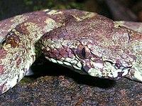 Pit viper head.jpg