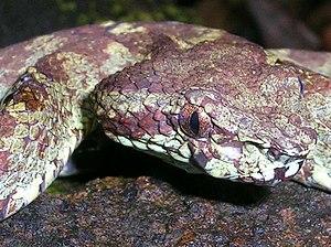 Trimeresurus malabaricus - Image: Pit viper head