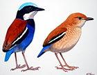 Изображение двух короткохвостых вертикально стоящих птиц: одна с ржавой спиной, с синим цветом на голове и нижней части тела и белым горлом, другая преимущественно коричневого цвета с синим хвостом и белой полосой на крыльях.
