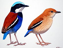 Illustration of two birds with different plumage