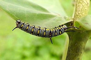 Danaus chrysippus - Mature Caterpillar